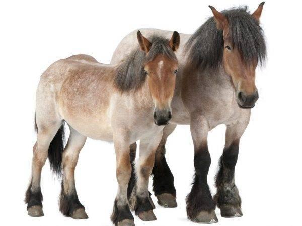 Лошади тяжеловозы: описание и фото породы