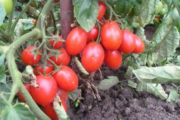 Описание сорта томата Ежик, его урожайность и выращивание