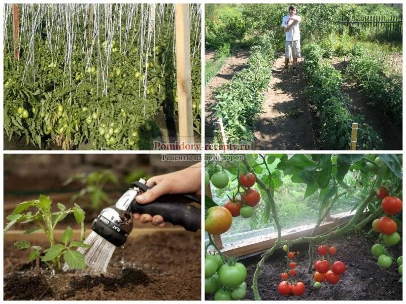 Народные средства для подкормки помидоров