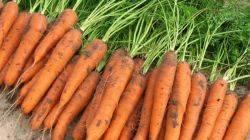 Популярный сорт вкусной моркови — шантане: характеристика и выращивание