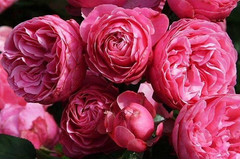 Роза полиантовая выращивание из семян