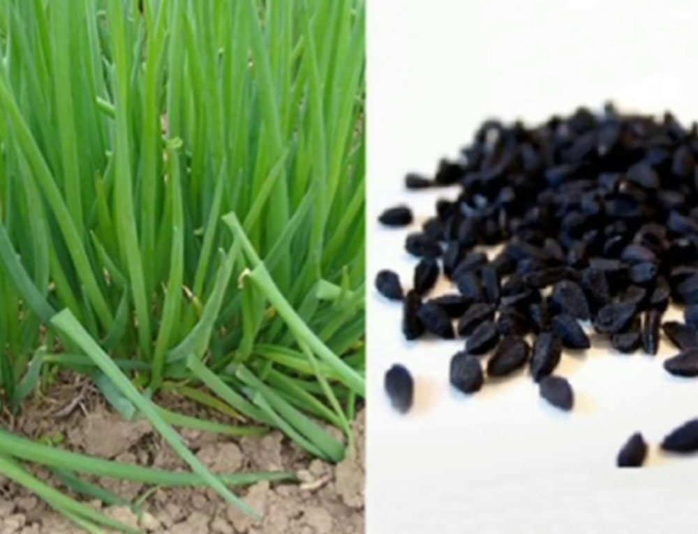 Какие сорта семян лука лучше посадить для выгонки пера на зелень