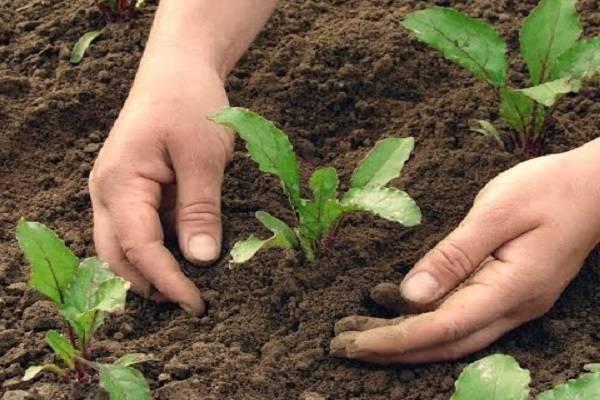 Выращивание свеклы в открытом грунте: секреты посадки и ухода