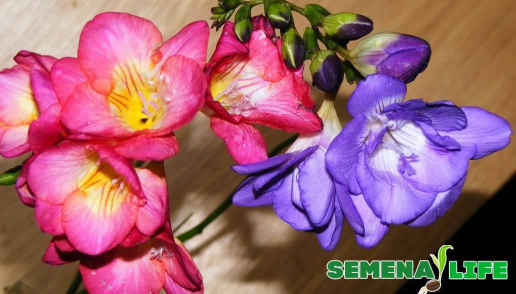 Как добиться обильного цветения фрезии на садовом участке