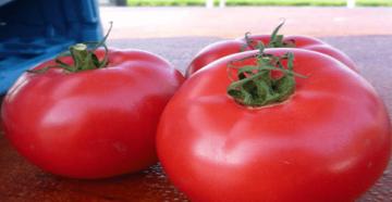 Томат антюфей f1: отзывы, фото, урожайность