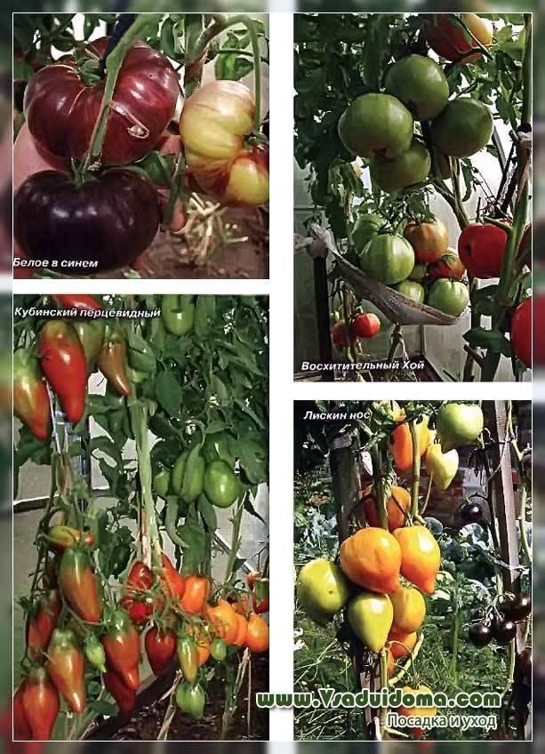Томат алые паруса: характеристика и описание сорта, урожайность с фото