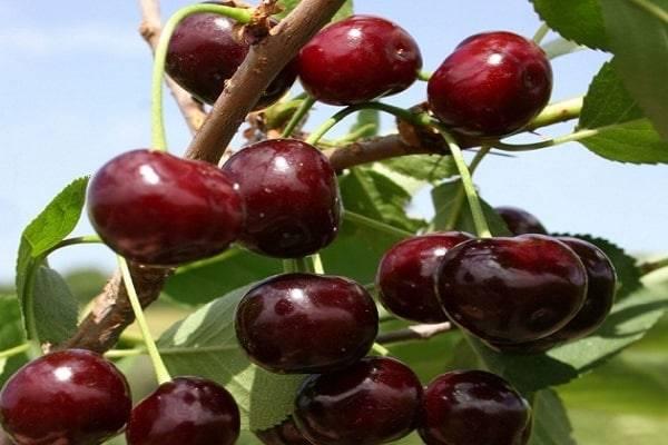 Описание и характеристики вишни сорта Стойкая, ее достоинства и недостатки