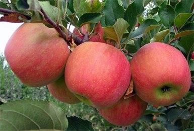 Сорт яблони голден делишес