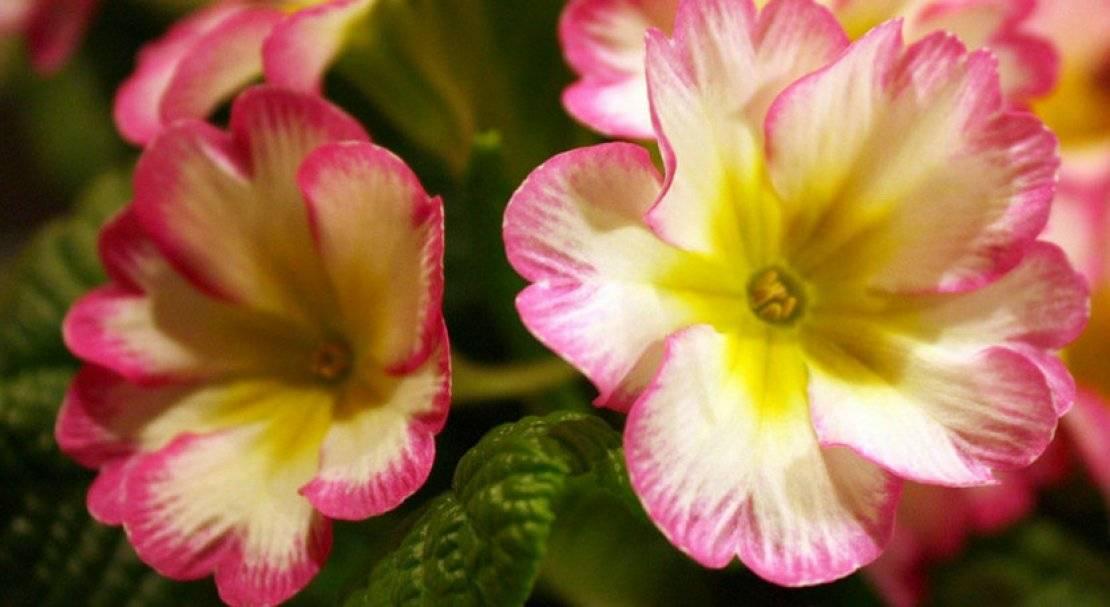 Описание видов комнатной примулы, выращивание и уход в домашних условиях
