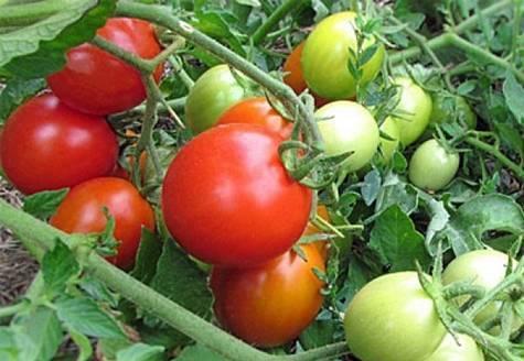 Томат эм чемпион: характеристика и описание сорта, урожайность и отзывы фото кто сажал