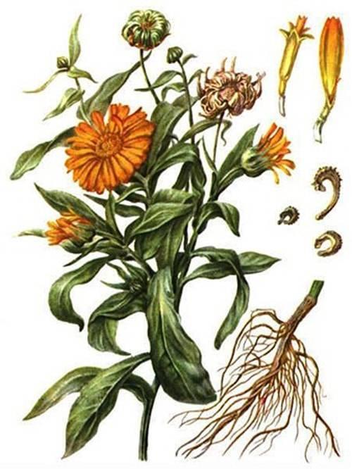 Календула (calendula): выращивание цветов, сорта