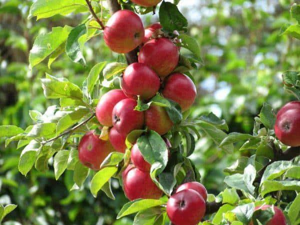 Описание и внешний вид яблонь сорта Беркутовское, выращивание и уход