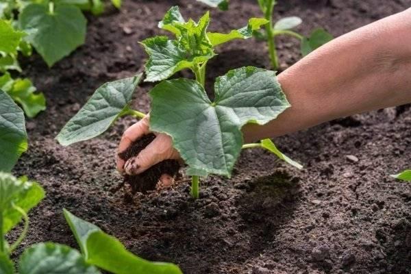 Подкормка огурцов в открытом грунте: когда и чем удобрять