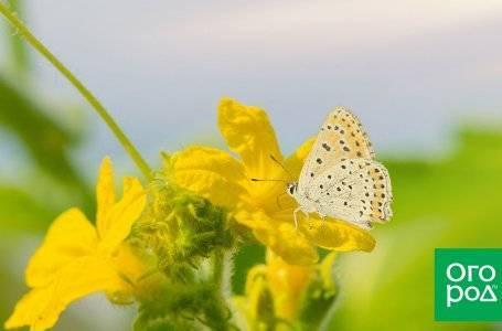 Цветки-пустоцветы на огурцах: причины, решение проблемы, профилактика