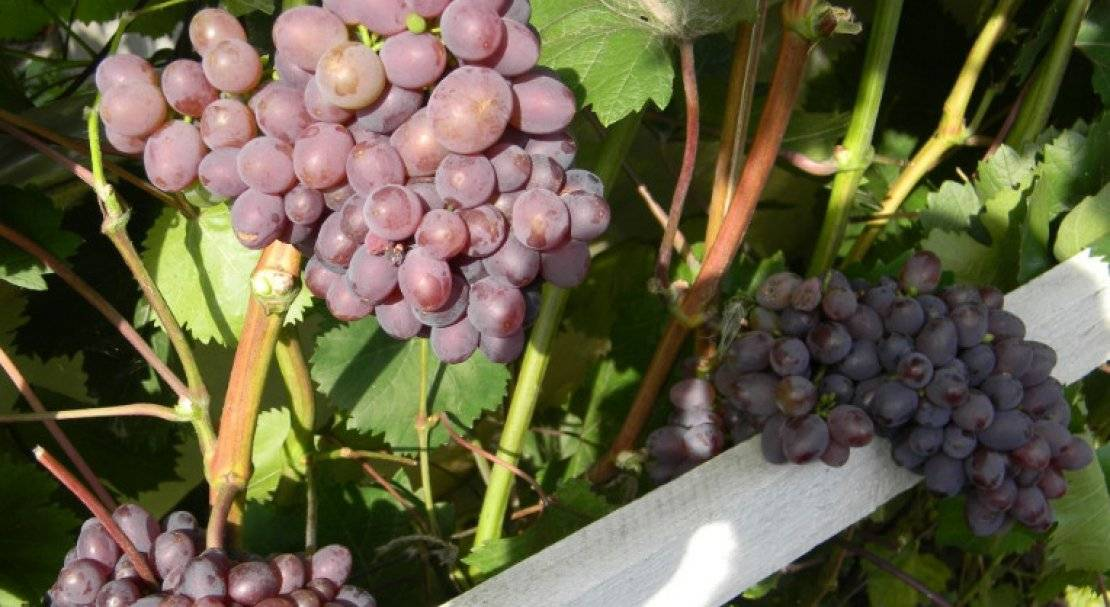 Виноград кишмиш находка: описание, фото и отзывы