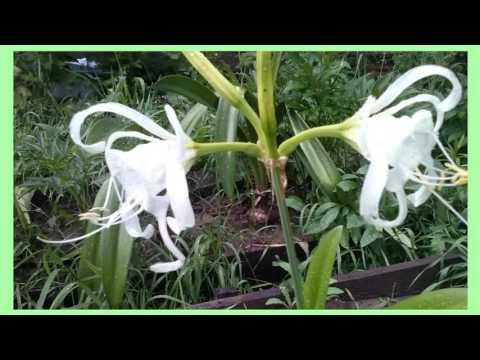 Ликорис (паучья лилия): значение цветка, уход и выращивание, фото