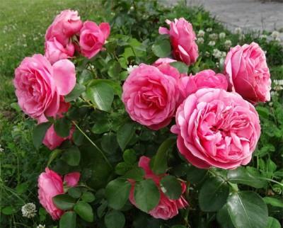 Уход, размножение розы леонардо да винчи
