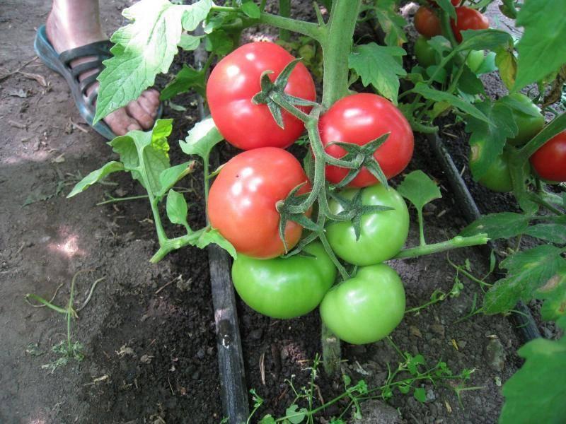 Особенности сорта помидоров белый налив