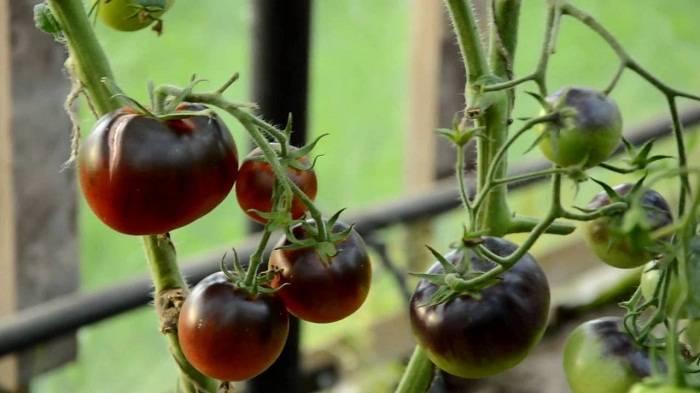 Томат блю р20: характеристика и описание сорта, отзывы садоводов с фото