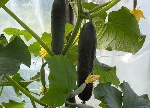 Описание сорта огурца сатина f1, особенности выращивание и ухода