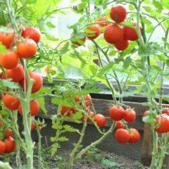 Сортовые особенности томата персей