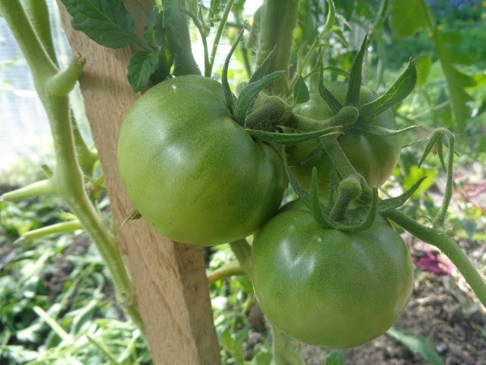 Сорт томатов «вечный зов»: характеристика, положительные отзывы