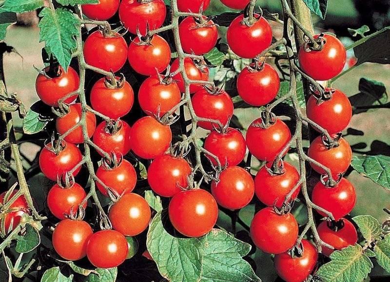 Томат цетус розовый: характеристика и описание сорта, выращивание и урожайность с фото