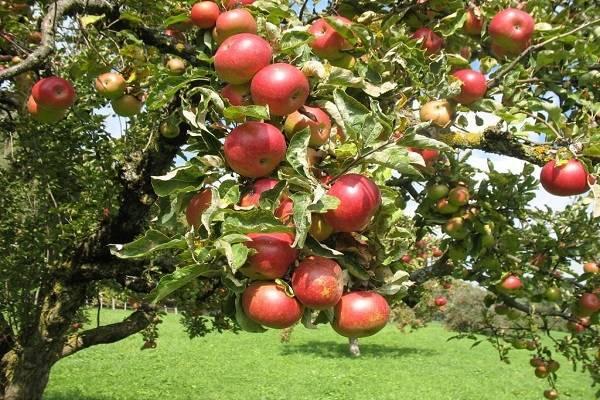 Яблоня шафран: особенности сорта и ухода