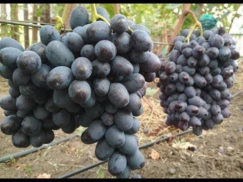 Виноград и любительское виноградарство