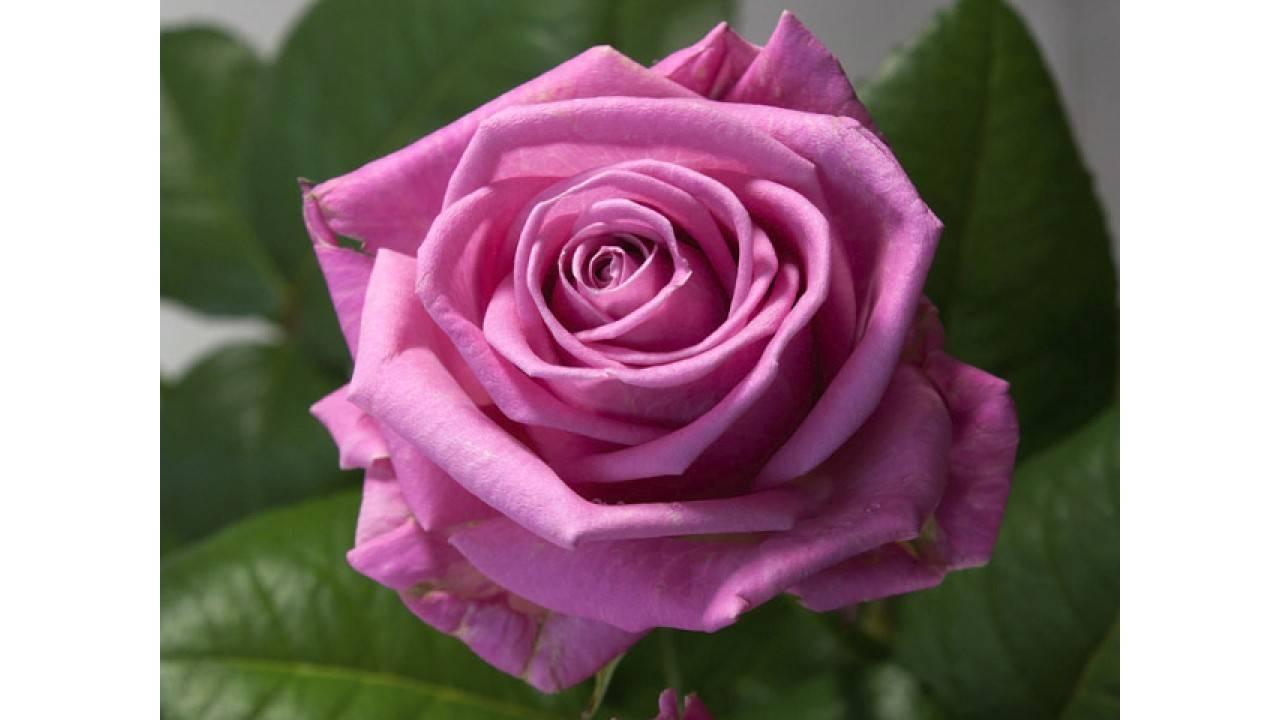 Роза аква (aqua): описание сорта чайно-гибридной розы, посадка и уход