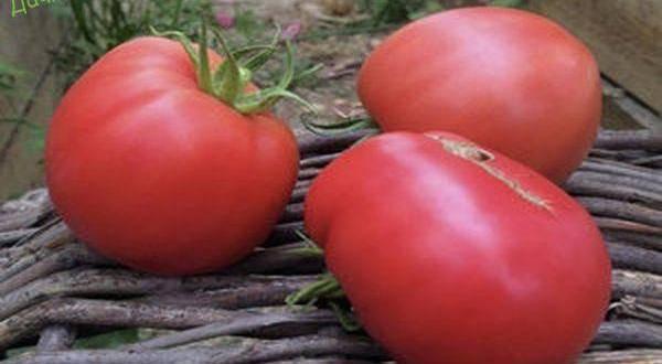 Томат 646 германия: характеристика с фото, отзывы об урожайности сорта
