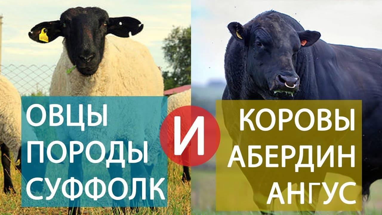 Порода тонкорунных овец: описание разновидностей и особенности разведения