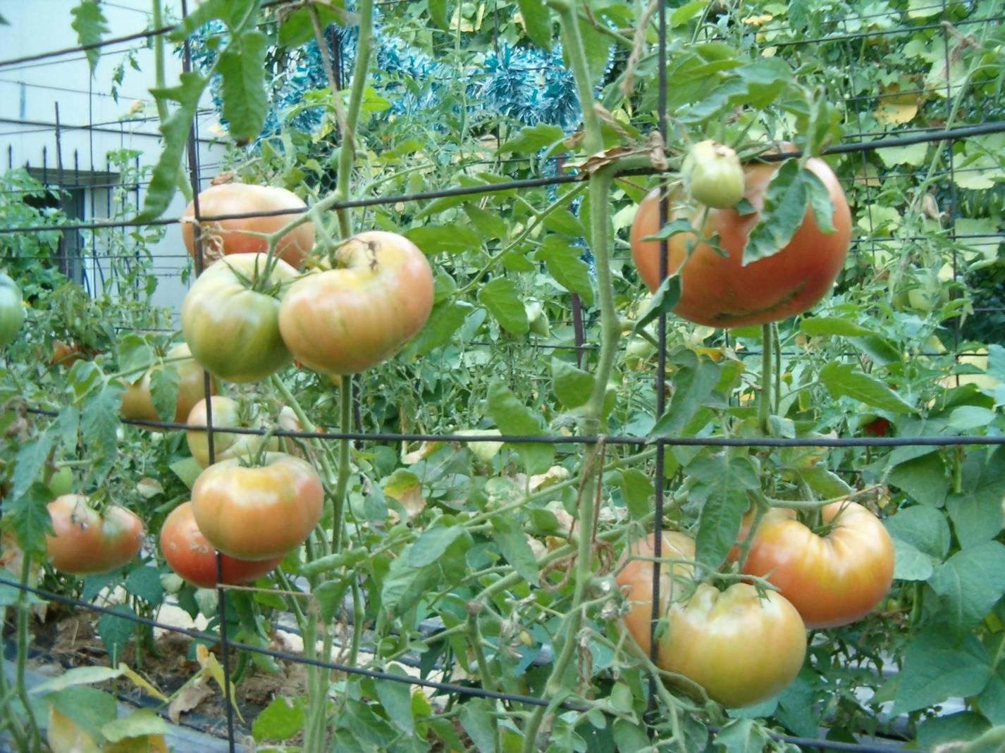 Томат король рынка: описание сорта, фото, отзывы, урожайность
