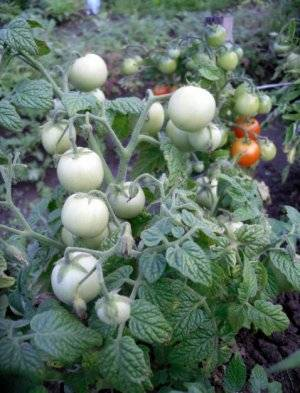Выращивание и уход за помидорами дубрава