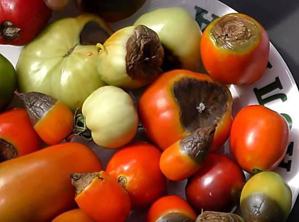 Признаки, причины и лечение вершинной гнили томатов