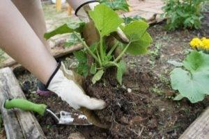 Почему у тыквы опадают плоды и желтеют завязи в открытом грунте на грядке