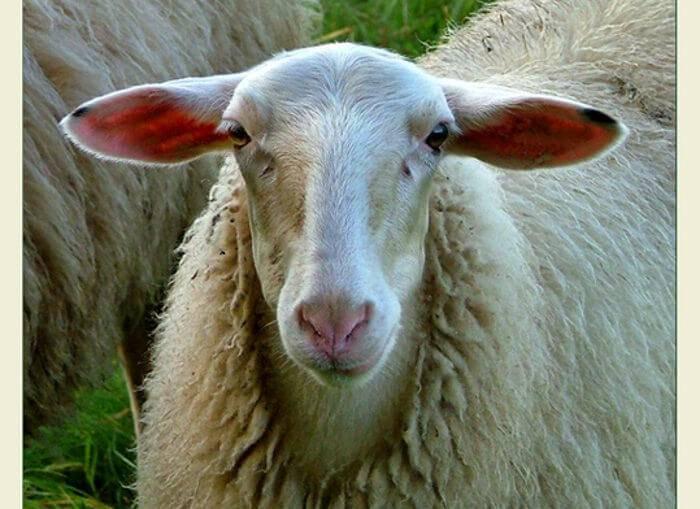 Как содержать овец курдючной породы?