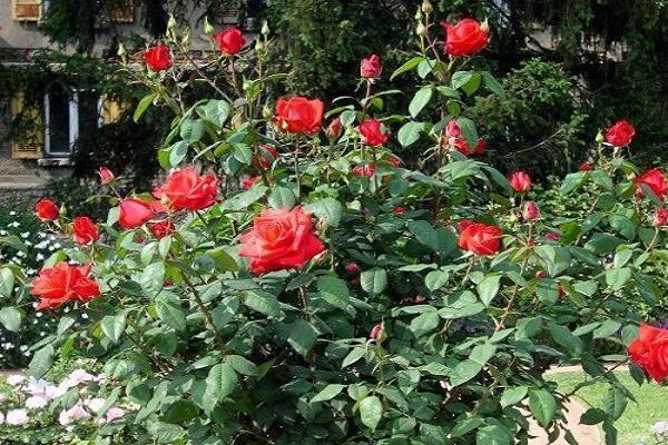 Описание и характеристики сорта розы Корвет, выращивание и размножение