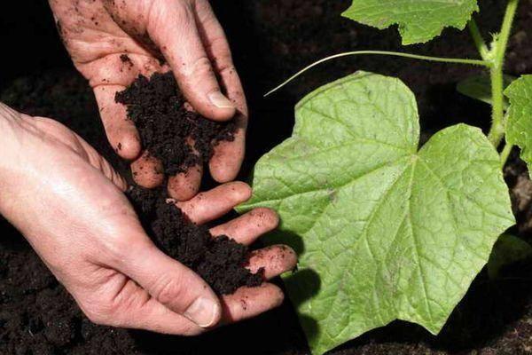 Табачная пыль для защиты огурцов от большинства вредителей