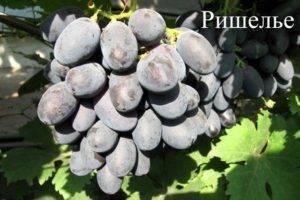 Девичий виноград: описание сорта, посадка и правила ухода