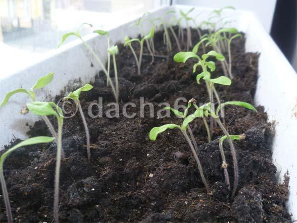 Способы определения всхожести семян в домашних условиях. как можно проверить и определить всхожесть семян помидоров
