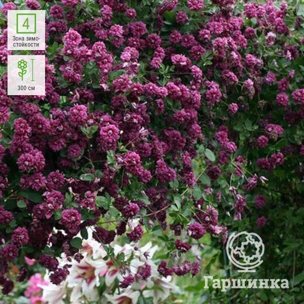 Описание и группа обрезки клематиса сорта пурпуреа плена элеганс, правила выращивания