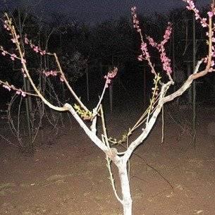 Когда и как правильно делать обрезку персика для формирования дерева