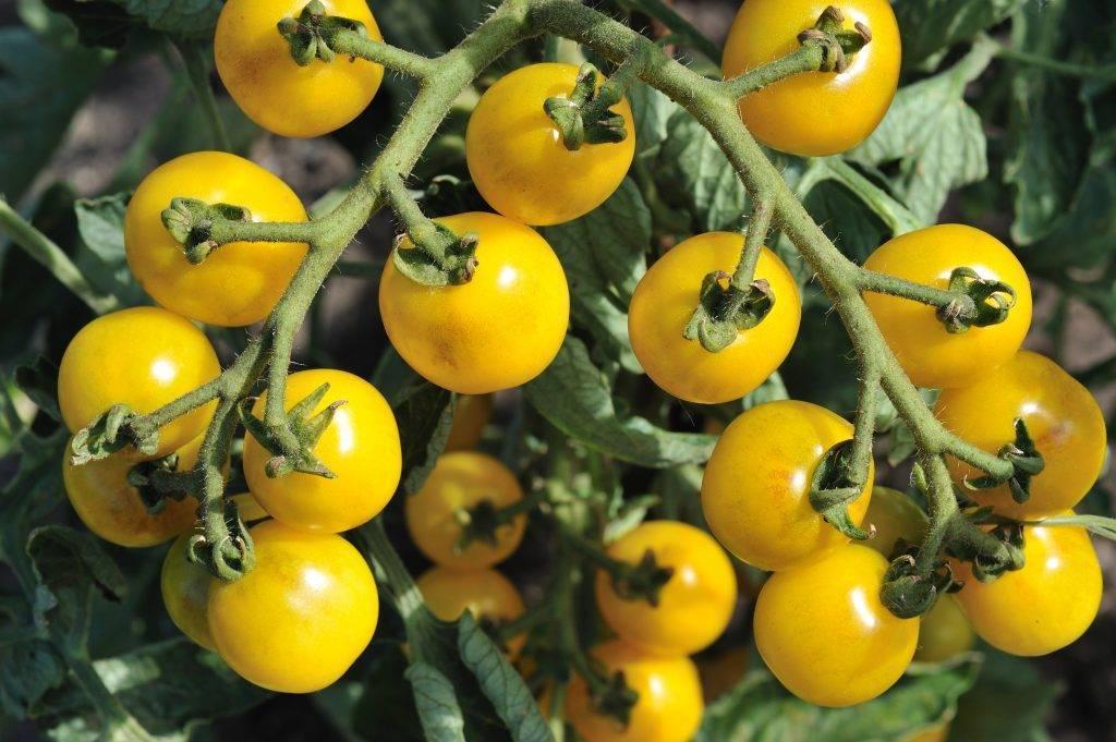 Томат восторг садовода: характеристика, описание сорта, отзывы