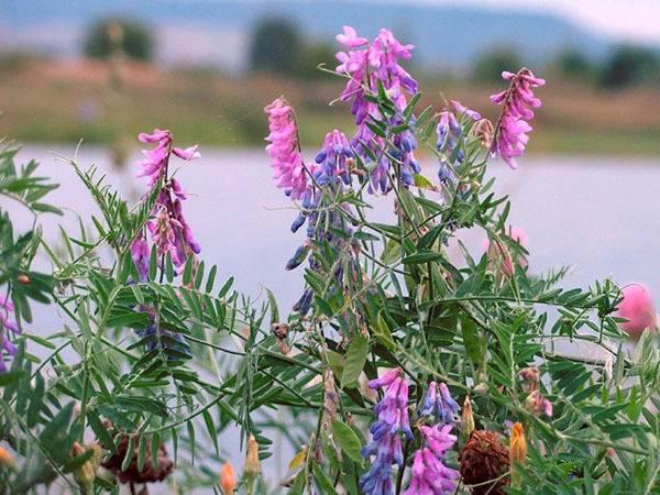 Вика-растение: описание, особенности ухода, использование. вика яровая и озимая