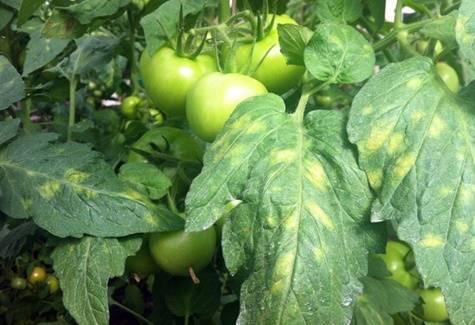 Способы борьбы с кладоспориозом томата (бурая пятнистость) и устойчивые сорта