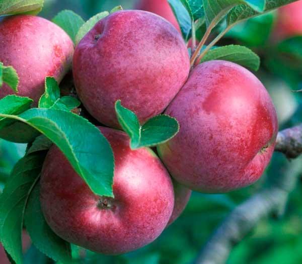 Сорт яблони спартан как вырастить ее на своем участке