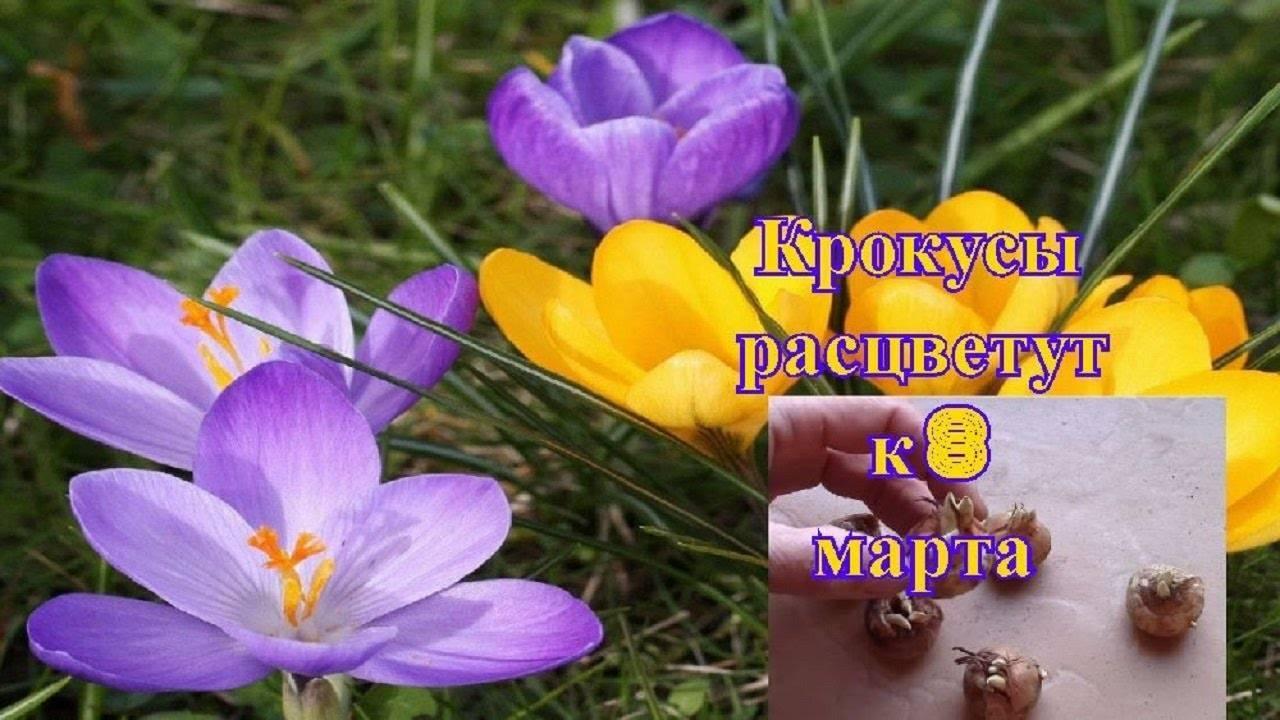 Выгонка луковичных цветов в домашних условиях