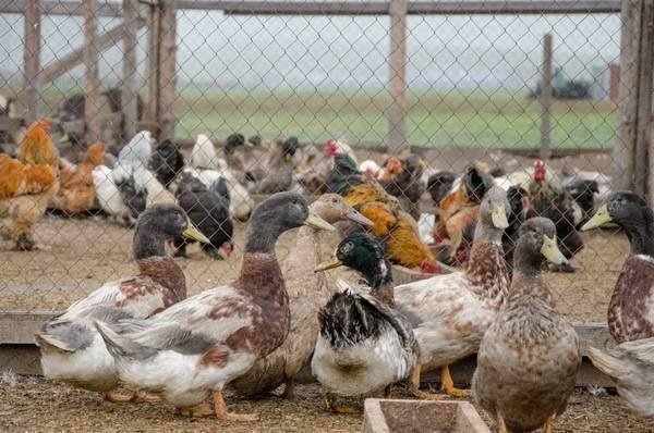 Можно ли содержать вместе домашних кур и индюков