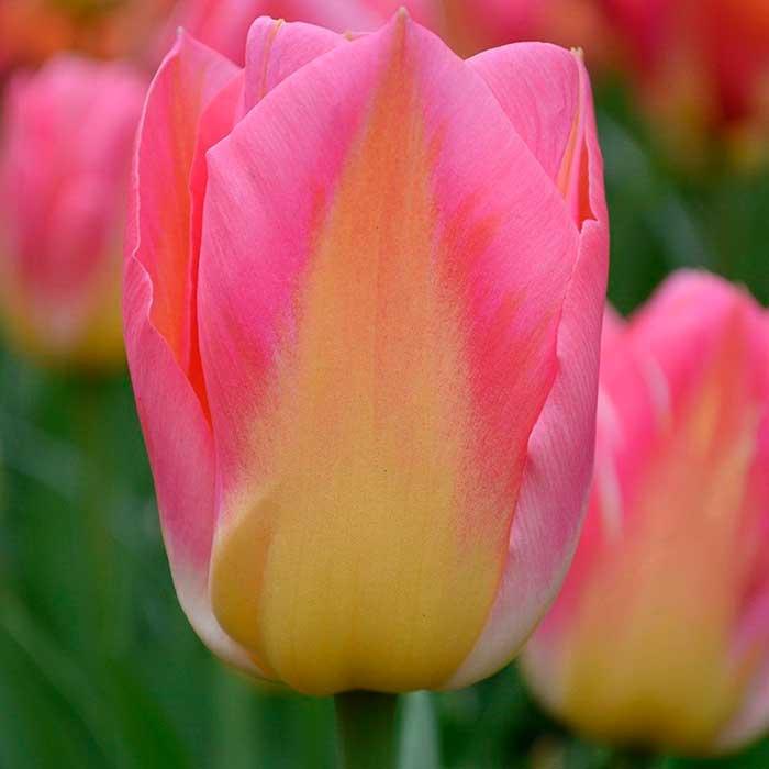 Тюльпаны сорта и виды